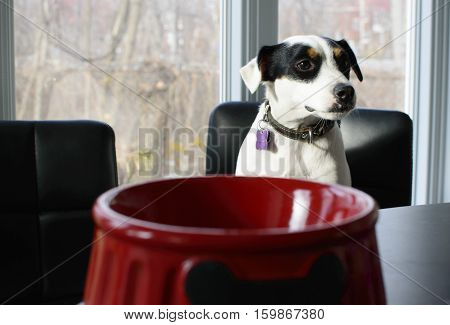 Cute dog waiting for food at table image with red dog food bowl , Jack Russell Terrier sitting at counter.