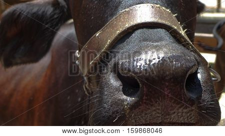 Horse sweating nose shows whiskers and brown halter
