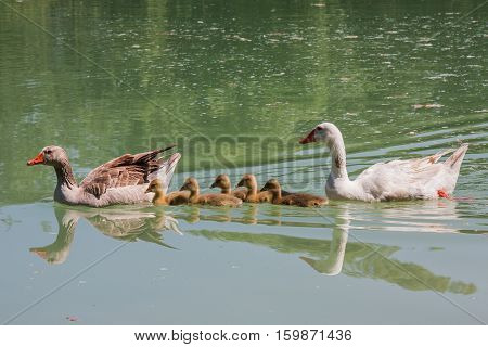 The family. Family of ducks swimming in a river