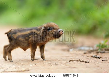 Cute little asian pig on a dirty country road, shallow depth of field