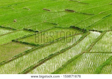Terrace rice plantation in a Karen village, Thailand