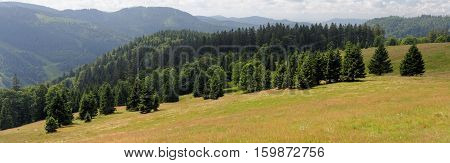 Picturesque spruce grove on of Feldberg mountain in Schwarzwald Germany