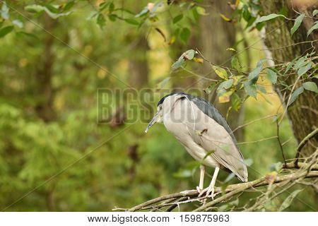 Black crowned night heron resting in the trees.