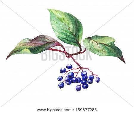 Twig  of elderberry (sambucus nigra) plant  with autumn leaves and black berries. Watercolor painting, isolated on white background.