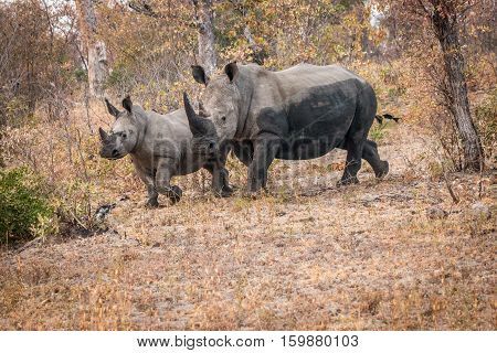 Bounding White Rhino In The Kruger National Park, South Africa.