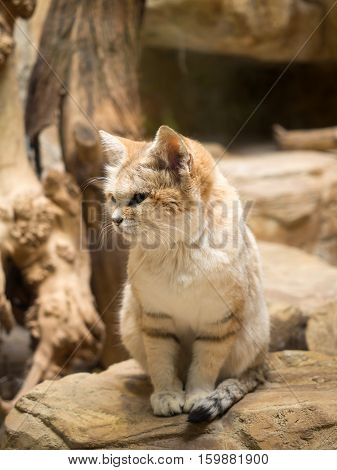 Wild Cat In The Zoo