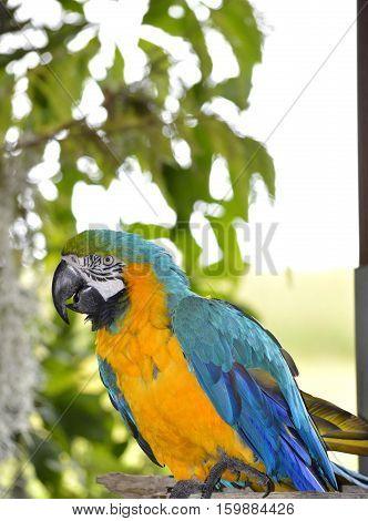 Blue and yellow macaw Latin name Ara ararauna