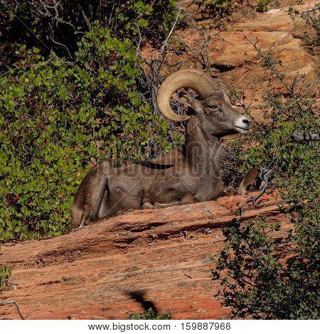 Desert Bighorn Sheep Ram, Zion Park, Utah, United States