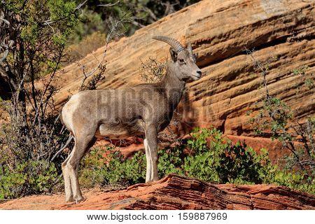 Desert Bighorn Sheep, Zion Park, Utah, United States