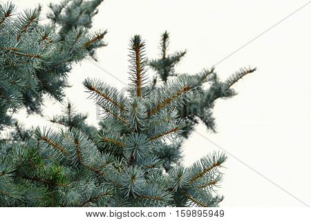 Blue spruce twigs over white background (Picea pungens)
