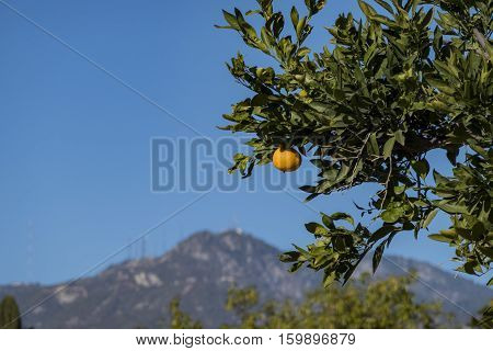 Mature juice California orange growing on the tree with San Gabriel Mountains as background