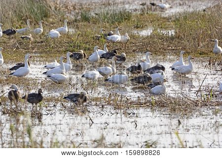 Snow Geese in a Bayou Wetland in the Cameron Prairie National Wildlife Refuge in Louisiana