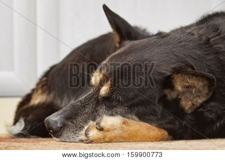 Tired shepherd dog sleeping on the carpet indoors. The dog is tired and her eyes are closed.