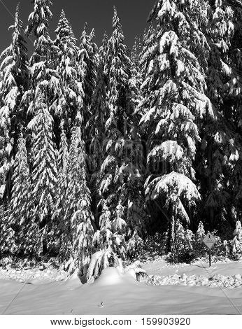Fir trees in the Willamette National Forest covered with fresh snow on a sunny Oregon winter day.