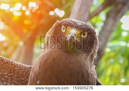 Falcon Peregrine or golden eagle Closeup with sunset light tone