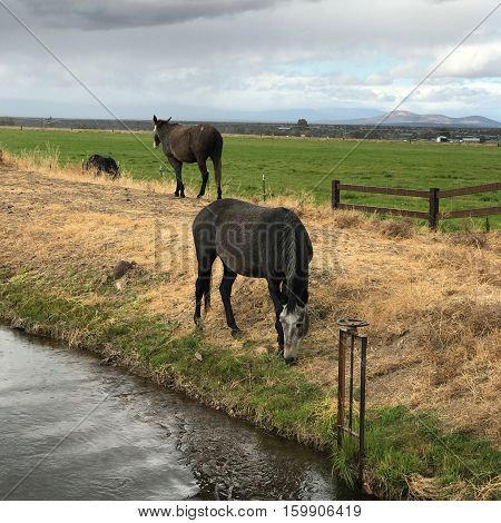 Horses grazing on the banks of an irrigation canal in Crook County farmland in Central Oregon on a fall afternoon.