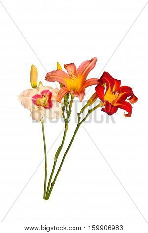 Three stems with daylily flowers of different cultivars in various colors with unopened buds isolated against a white background