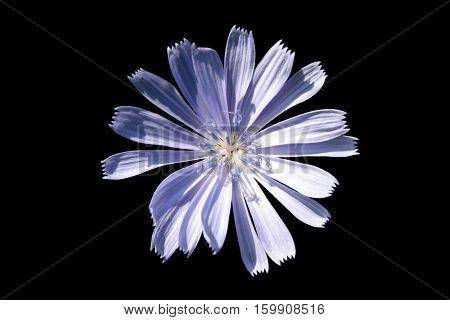 Bluish isolated flower on the black background.