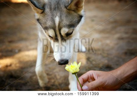 Cute husky sniffing a flower in forest