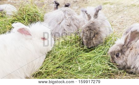 The Angora rabbit is a variety of domestic rabbit bred for its long soft wool