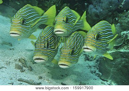 Raja Ampat, Indonesia, Pacific Ocean, oriental sweetlips (Plecorhinchus orientalis) just above ocean floor