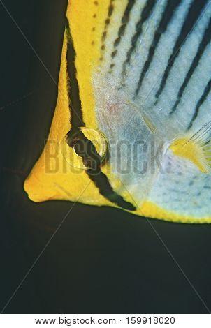 Raja Ampat, Indonesia, Pacific Ocean, spot-tail butterflyfish (Chaetodon ocellicaudus), close-up