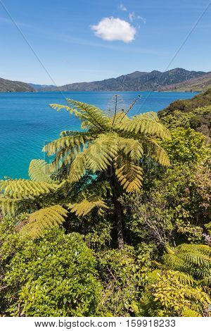 silver ferns growing at Marlborough Sounds coastline in New Zealand