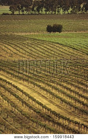 Rows of vines at vineyard, elevated view, central Victoria, Australia