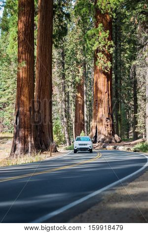 Sequoia national park. Road in Giant Sequoias Forest and the car touring trough