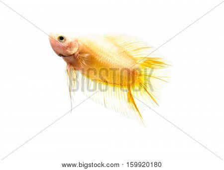 Capture the moving moment of white siamese fighting fish isolated on white background. Betta fish (2)