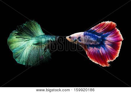 Couple betta fighting fish top form preparing to fight isolated a on black background