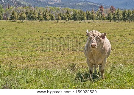 White bull standing outside the barbed wire fence