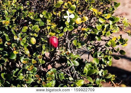 Natal plum (Carissa macrocarpa) plant with red fruit and white flowers.