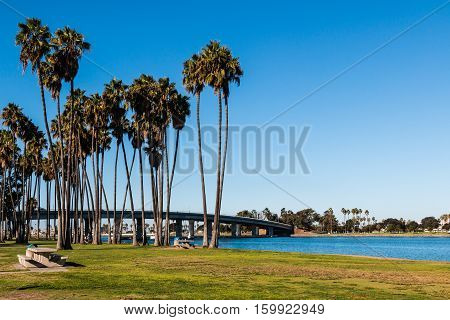 A group of Washingtonia robusta palm trees at Sunset Point Park with bridge in background on Mission Bay in San Diego, California.