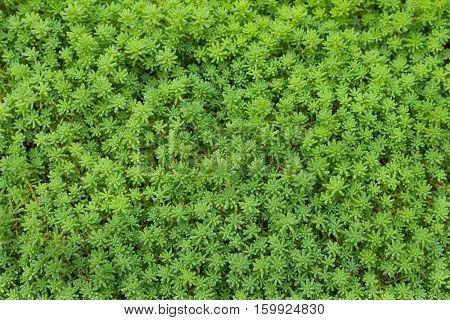 Beautiful sward green, decorative grass texture background