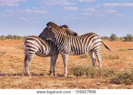 Couple Of Zebras From Kruger National Park, Equus Quagga