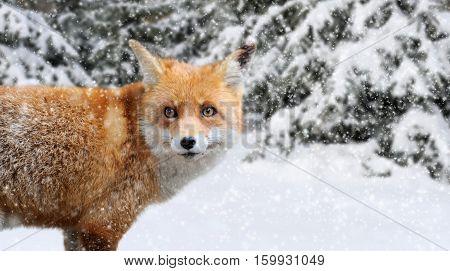 Fox Portrait In Nature