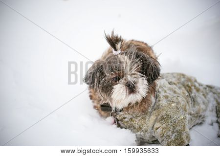 A Little Shih Tzu Dressed In Overalls, Lying In The Snow. Care For Animals, And Loves Playing With T