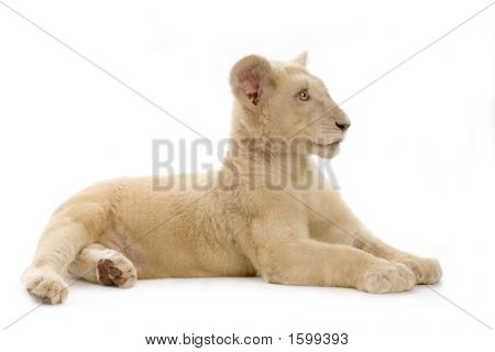 studio shot of a white Lion Cub (5 months) in front of a white background. poster