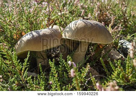 Edible porcini mushrooms in the forest
