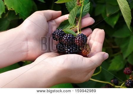 ripe and unripe blackberries grows on the bush. Bunch of blackberries. Berry background. Female hands hold blackberries. Harvest of blackberry