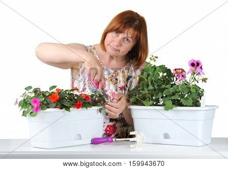 Attractive Middle-aged Woman Mows Shears Pelargonium And Impatiens..
