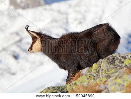 Chamois at winter in a Tatras - rupicapra rupicapra
