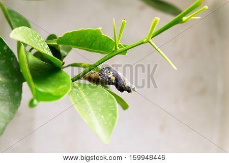 Chrysalis Butterfly on Lemon Tree, Nature Concept