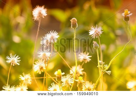 Dry flowers in hot season grasses on ground The meadow of Poaceae