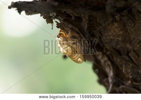 Cicada mounting on tree, Nature Background Concept
