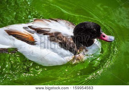 Hdr Tufted Duck Bird Animal