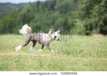 Beautiful Chinese Crested Dog Running