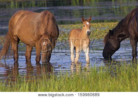 Two horses and foal on the watering place drinking
