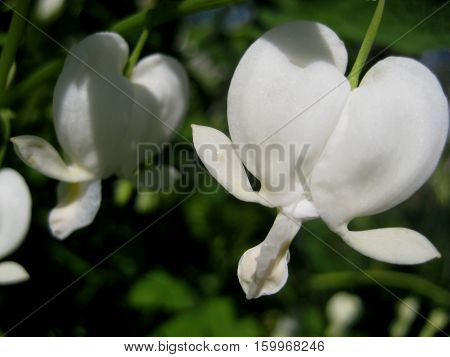 macro photo with beautiful flowers Dicentra with delicate white petals in the shape of a heart on the background of garden plants in the rays of summer sunlight as the source for design and art print